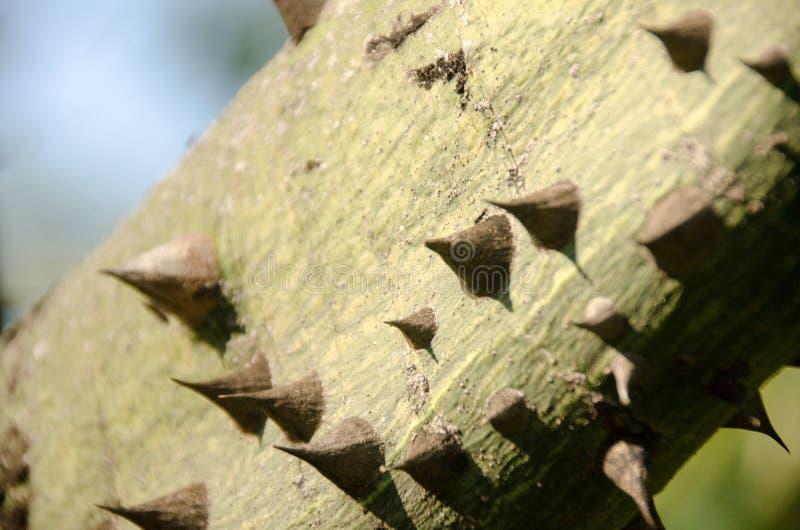 Spiny bark of kapok tree. Thorn tree of Bombax ceiba closeup sharp thorn at tree. Closeup textured and surface of the trunk of Kapok tree, Red silk cotton tree stock image