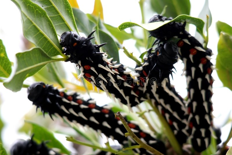 spiny caterpillars arkivbilder