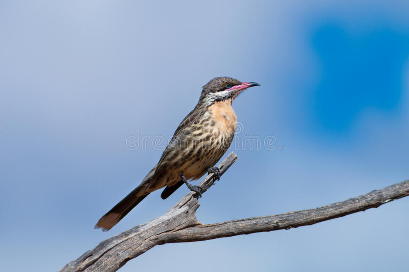 Spiny-cheeked Honeyeater Royalty Free Stock Image