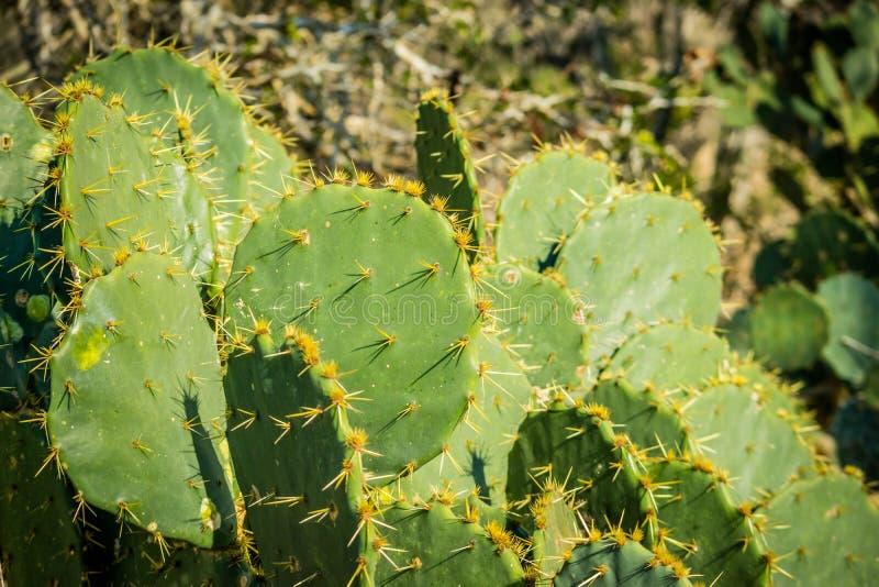 Spiny dzika kaktusowa roślina w Harlingen, Teksas obrazy stock