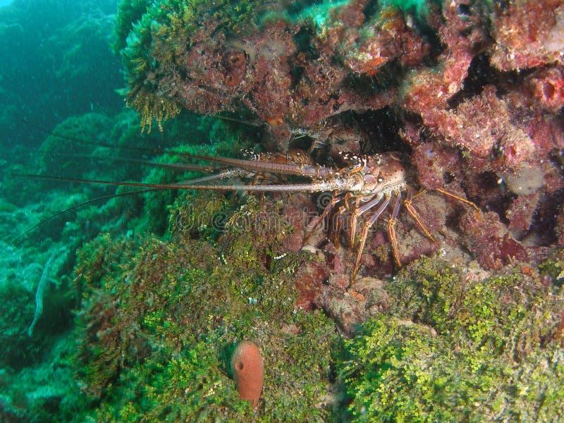 spiny florida hummer s royaltyfri fotografi