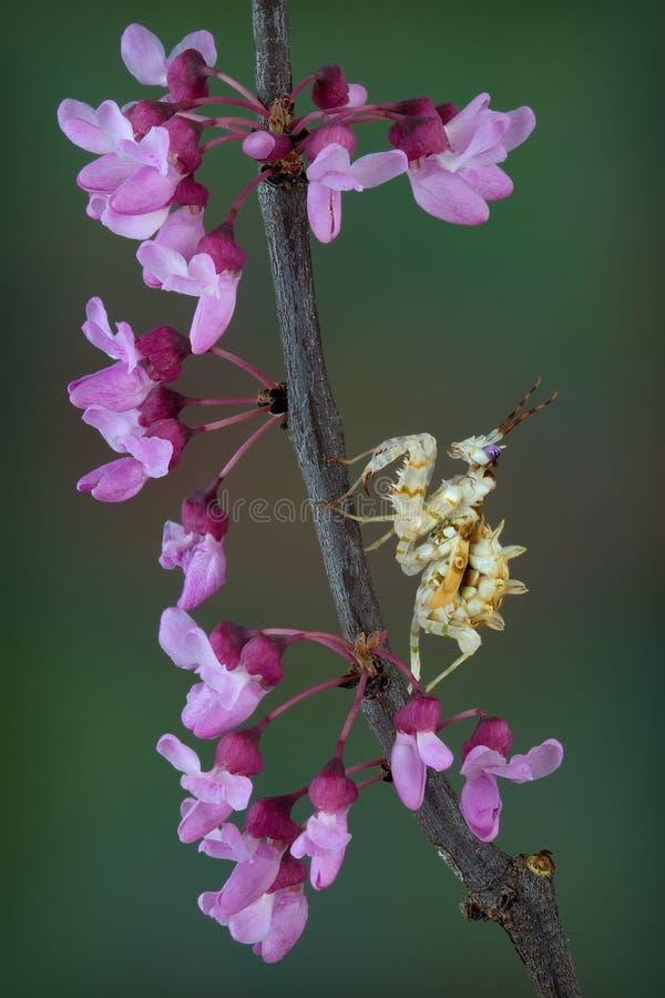 Spiny Flower Mantis on flower filled branch stock photo