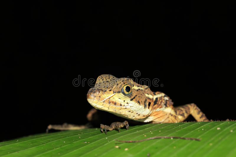 Spiny Green Lizard. Close-up of a Spiny Green Lizard (Sceloporus Malachiticus) on a Leaf, Drake Bay, Osa Peninsula, Costa Rica royalty free stock images
