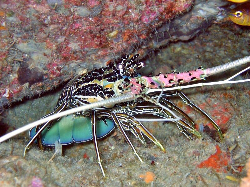 spiny hummer royaltyfri foto