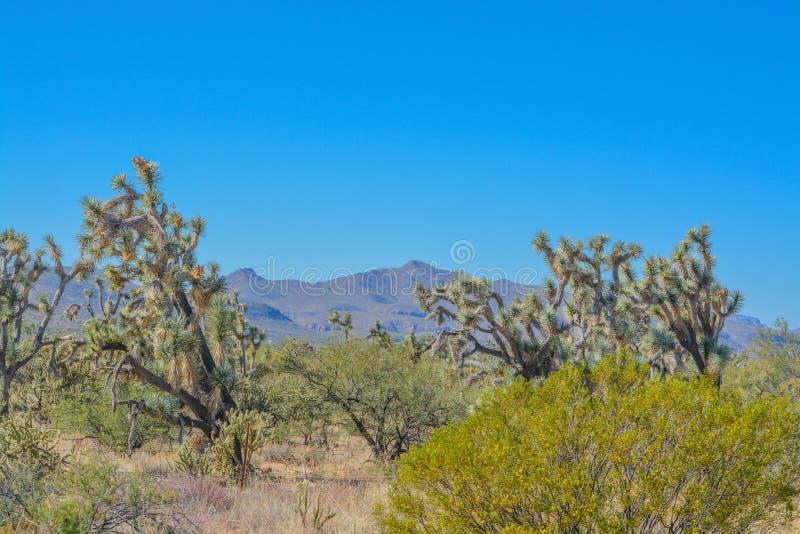 Spiny Joshua Trees Yucca Brevifolia in the Sonora Desert. Maricopa County, Arizona USA.  royalty free stock photos