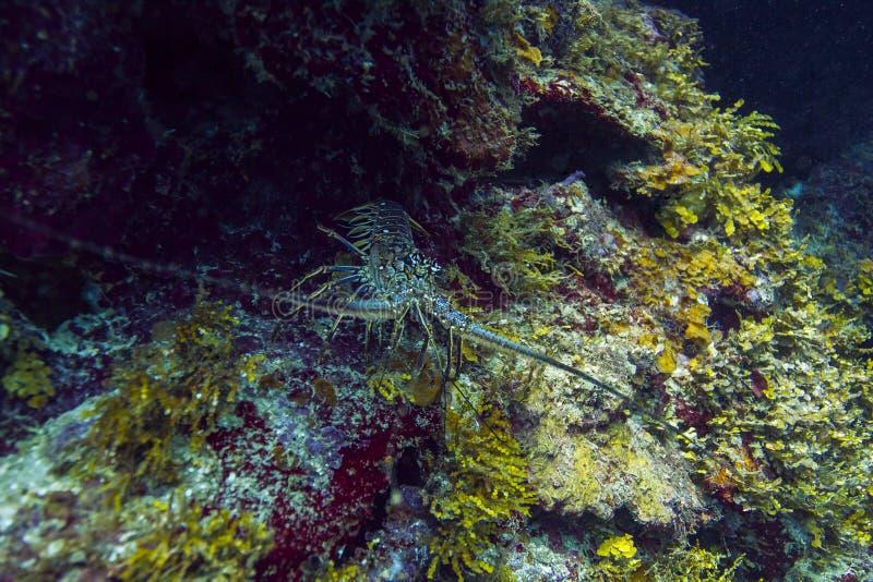 spiny karibisk hummer royaltyfria foton