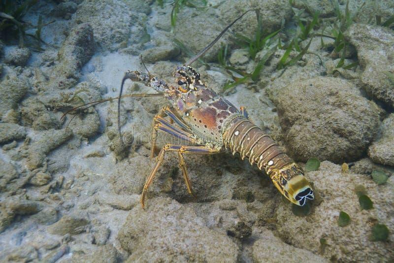 spiny karibisk hummer royaltyfri fotografi
