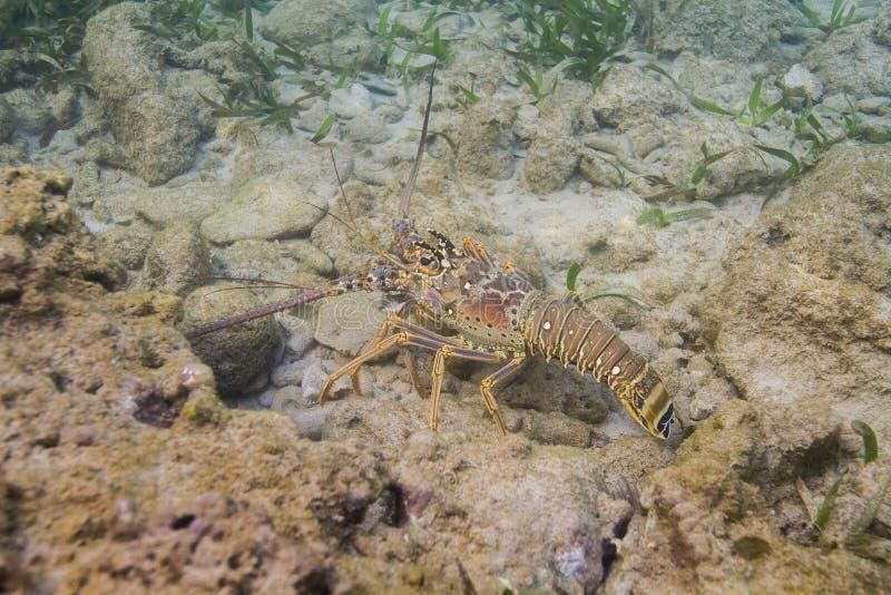 spiny karibisk hummer arkivbild