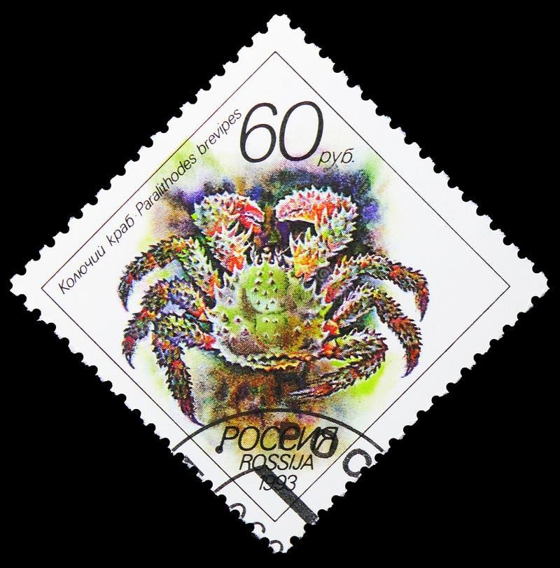 Spiny King Crab Paralithodes brevipes, Fauna serie, por volta de 1993 imagem de stock