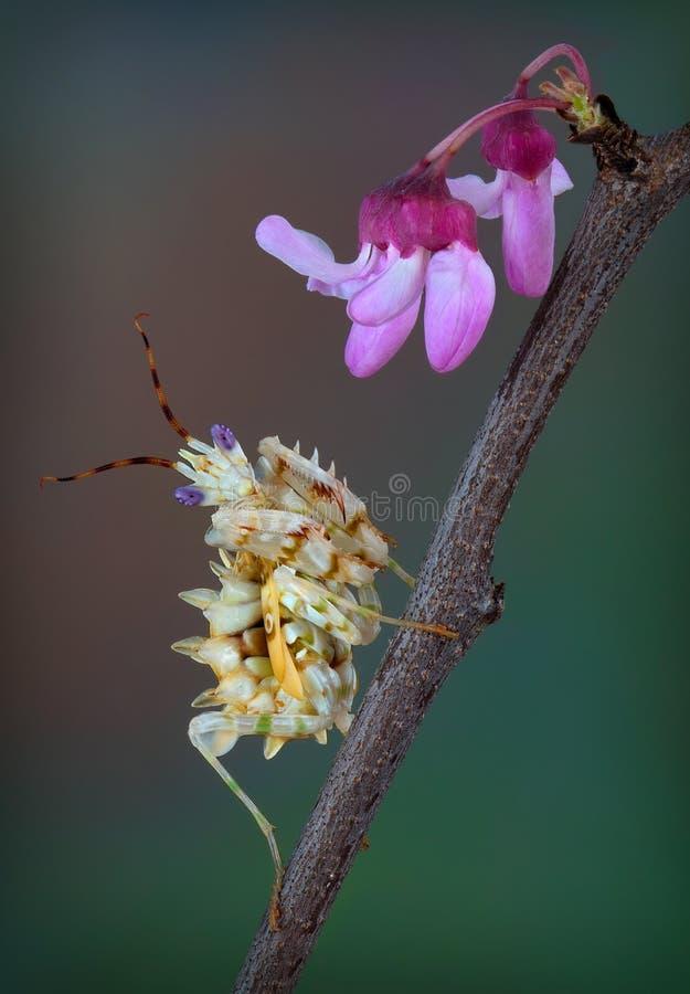 Spiny kwiat modliszka na wiosny drzewie zdjęcia royalty free