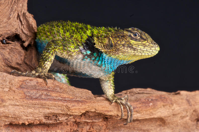 Spiny lizard. The Emerald Swift or Green Spiny Lizard (Sceloporus malachiticus) is a species of small lizard, native to Central America.The Emerald Swift is royalty free stock photography