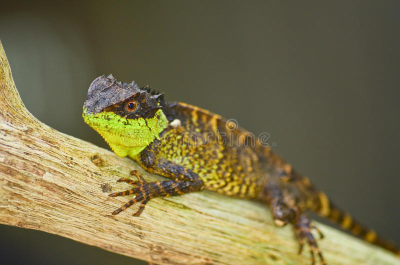Spiny lizard. Green spiny lizard sitting on the tree stock photography