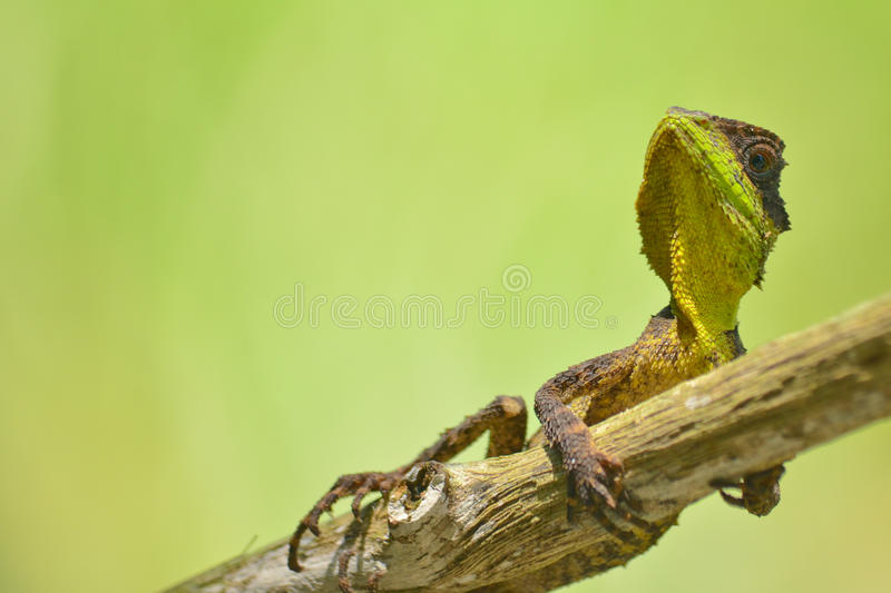Spiny lizard royalty free stock images