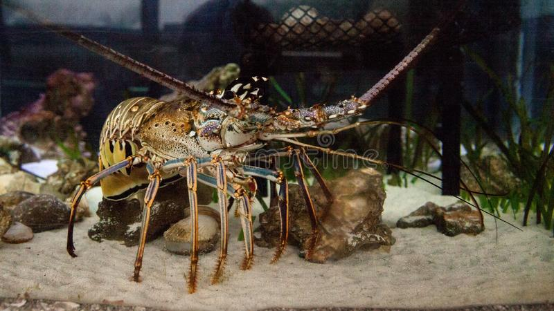 Spiny lobster also called rock lobster Palinuridae forages stock photo