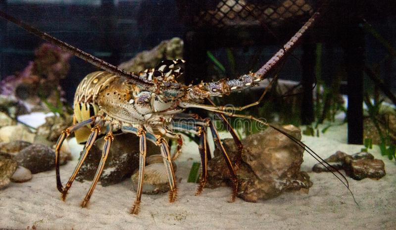 Spiny lobster also called rock lobster Palinuridae forages stock image