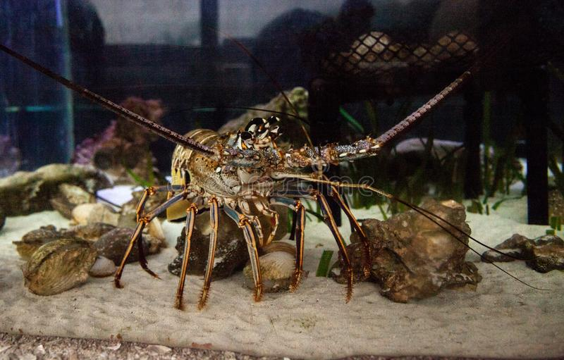 Spiny lobster also called rock lobster Palinuridae forages stock photography