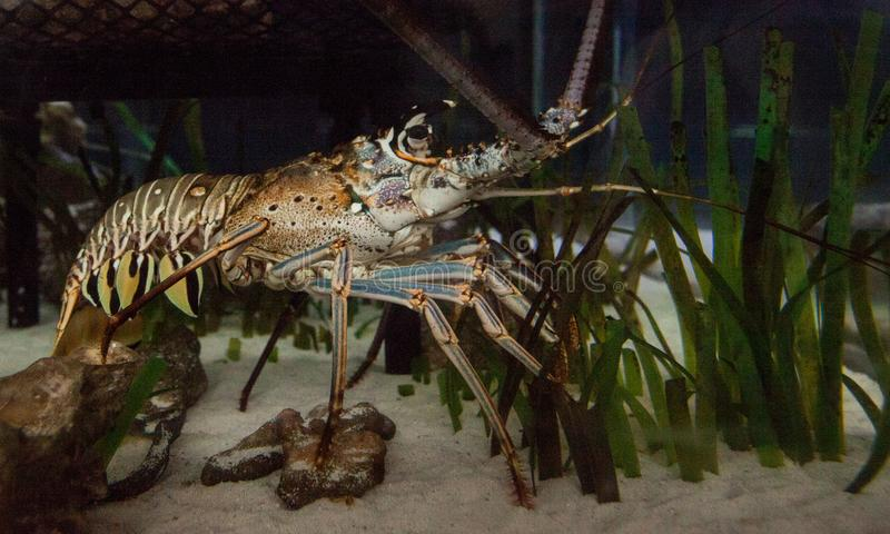 Spiny lobster also called rock lobster Palinuridae forages royalty free stock photo