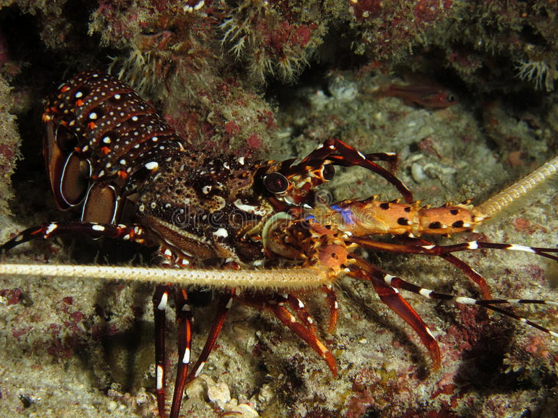 Spiny lobster royalty free stock image