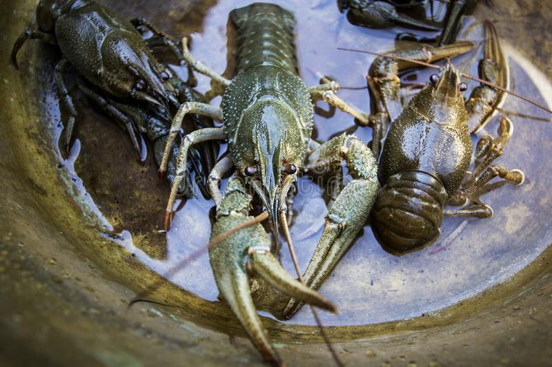 Spiny lobster. A large river cancer on a stone royalty free stock photo