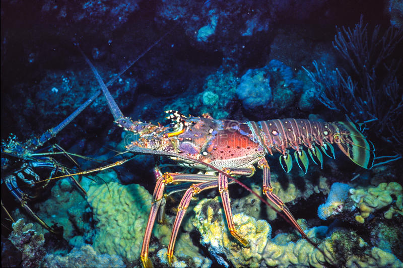 Download Spiny Lobster stock image. Image of spiny, roques, venezuela - 60086963