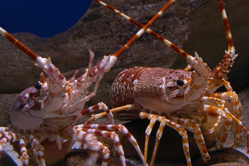 Spiny lobsters. A pair of spiny lobsters in a tank or aquarium stock photos