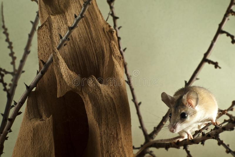 spiny mouse acomys sits on twigs in the lower right corner of the frame in a spacious cage with a bizarre stump royalty free stock images