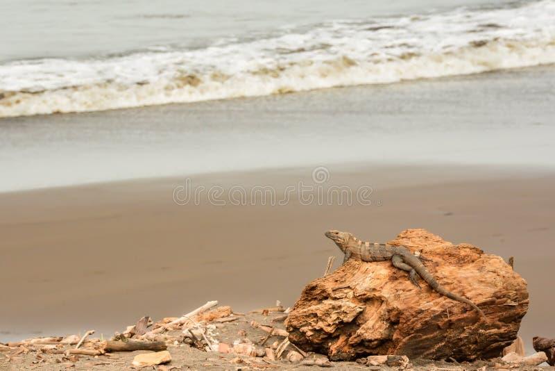 Spiny Ogoniasta iguana relaksuje na plaży zdjęcia royalty free