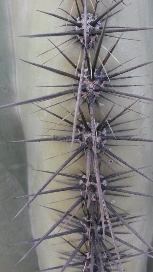 Spiny Saguaro zdjęcia royalty free