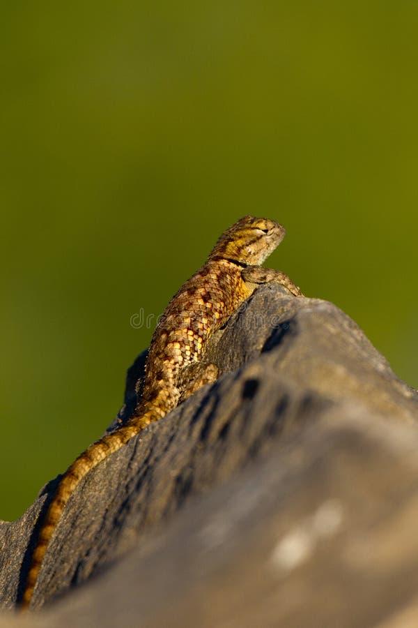 spiny sceloporus för ökenödlamagister royaltyfri bild