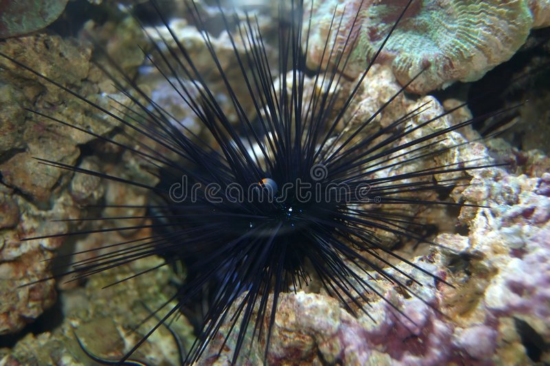 Spiny sea urchin stock photo