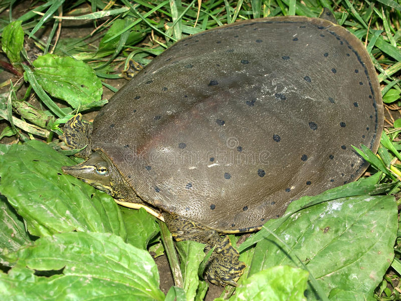 Spiny Softshell Turtle (Apalone spinifera). In central Illinois royalty free stock image