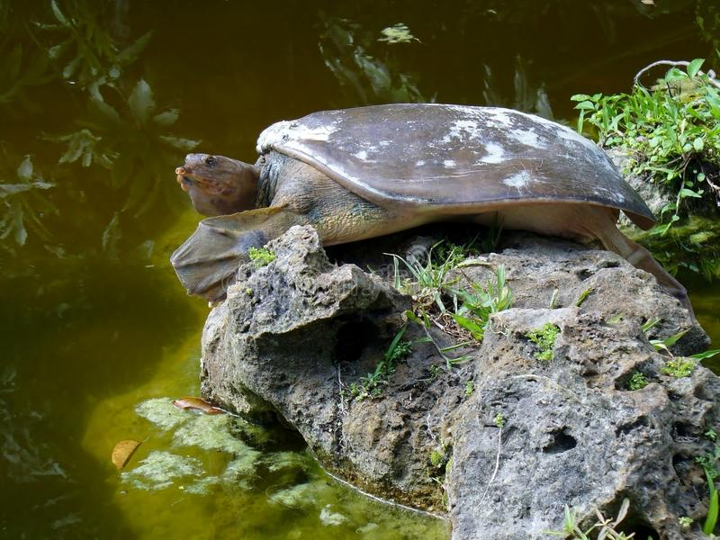Spiny softshell turtle. Spiny softshell taper nose turtle stock photo