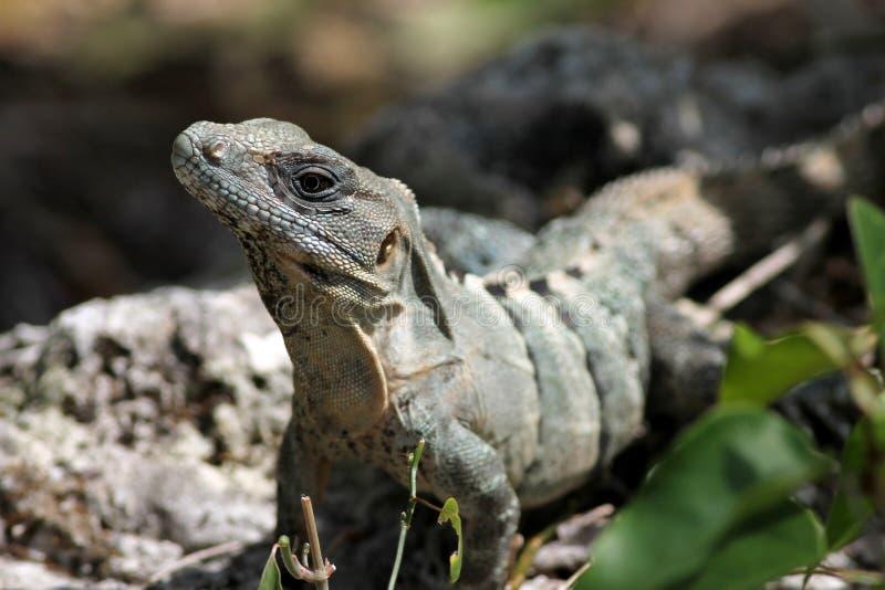 Spiny-tailed leguan i Cozumel royaltyfri fotografi