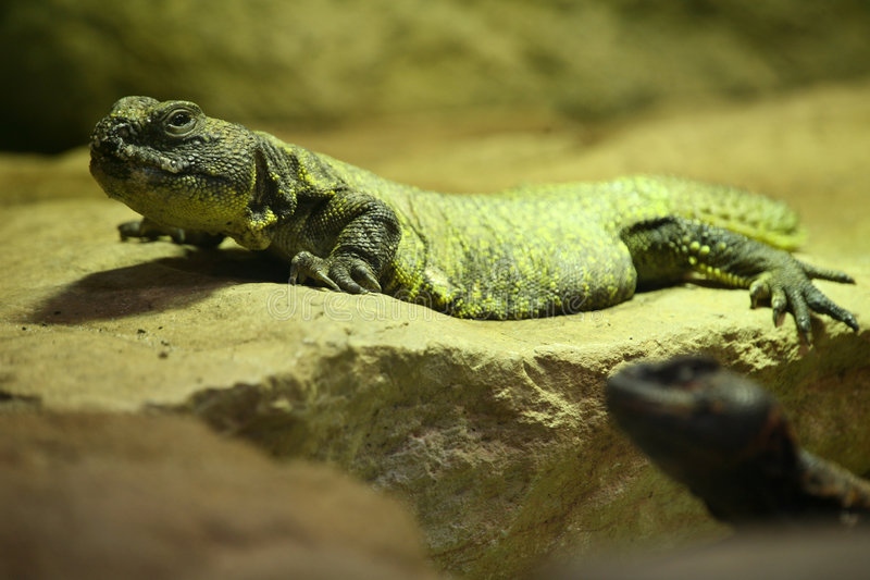 Spiny-tailed Agamid stock images