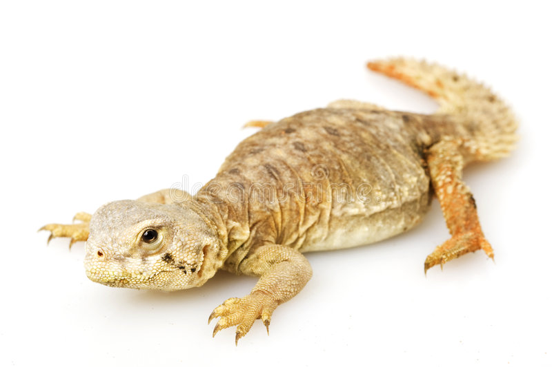 Spiny-tailed lizard. (Uromastyx) on white background stock photography