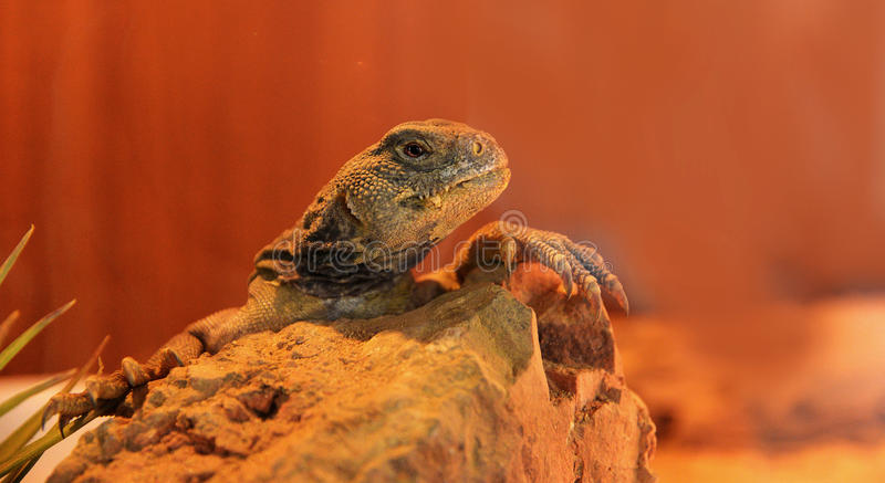 Spiny tailed lizard. Spiny-tailed lizard / Cordylus tropidosternum royalty free stock image