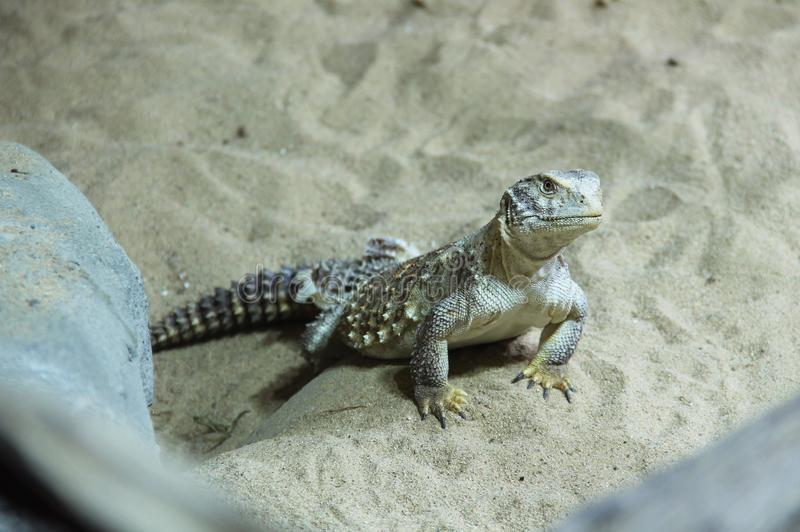Spiny-tailed lizard. Uromastyx in the sand royalty free stock images