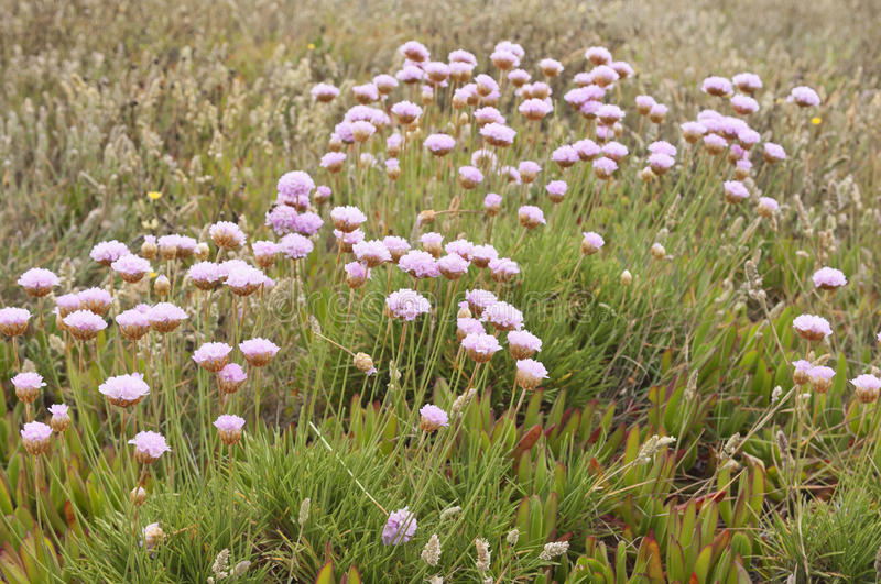 Spiny Thrift. Armeria pungens - in the portuguese coastline near Sines, Portugal stock image