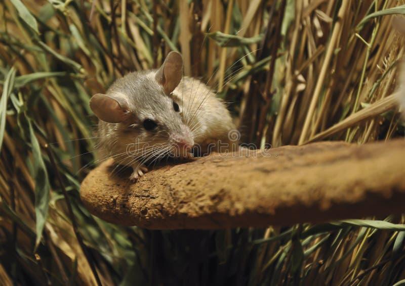 spiny turk för mus royaltyfri bild