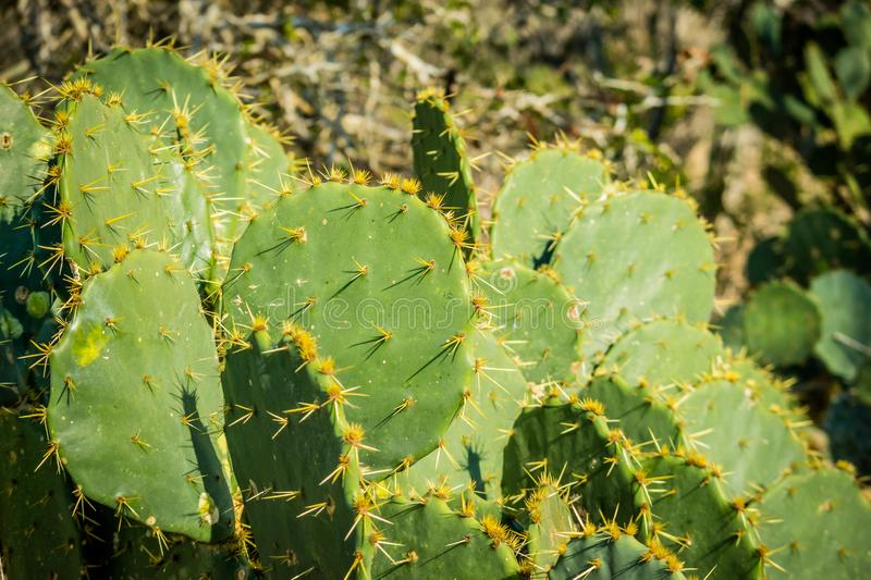 A spiny wild cactus plant in Harlingen, Texas stock images