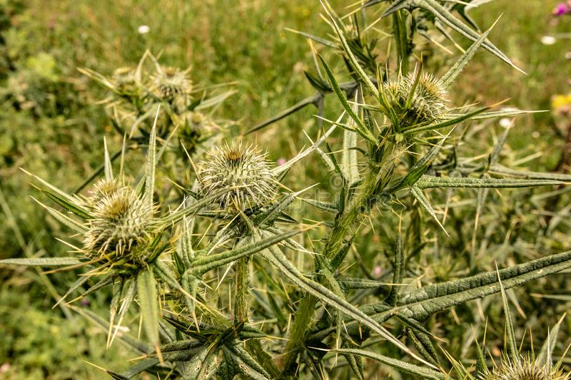 Spiny Wild Flower Wooly Thistle Cirsium Eriophorum. Spiny Green Wild Flower Wooly Thistle Cirsium Eriophorum royalty free stock images