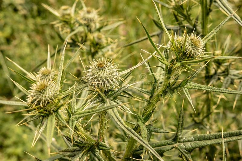 Spiny Wild Flower Wooly Thistle Cirsium Eriophorum. Spiny Green Wild Flower Wooly Thistle Cirsium Eriophorum royalty free stock photography