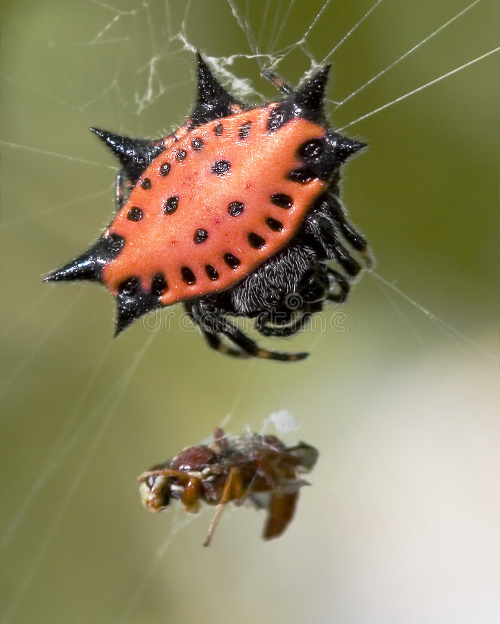 Spinybacked Orbweaver photo stock