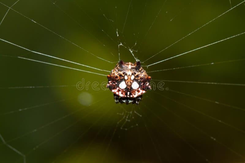 spinybacked orbweaverspindel royaltyfri foto