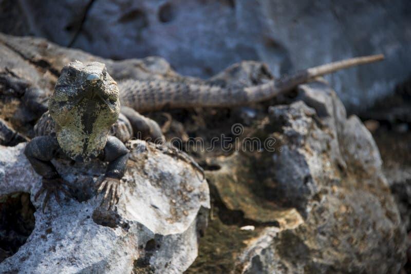 Spinytail鬣鳞蜥 库存照片