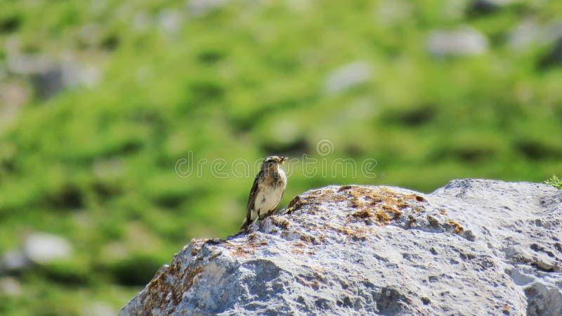 Spioncello di alpino di Bisbita che mangia in una roccia immagine stock libera da diritti