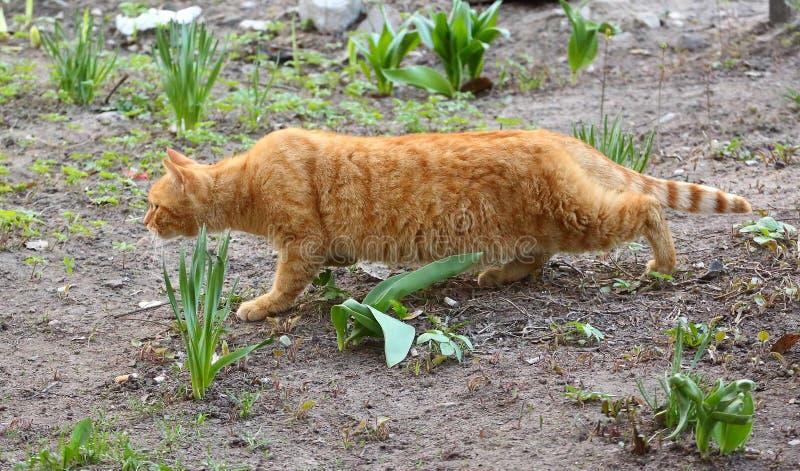 Spioni rossi del gatto sulla terra fra la pianta rara fotografia stock