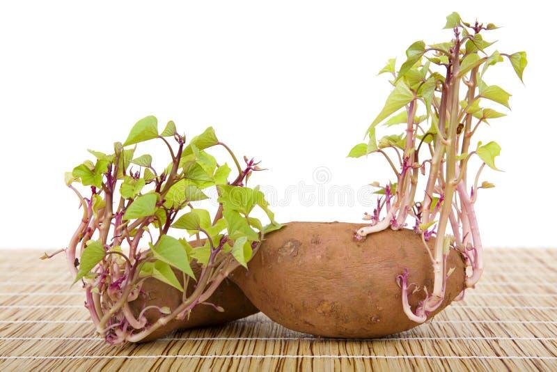 Spira för potatisar royaltyfria bilder