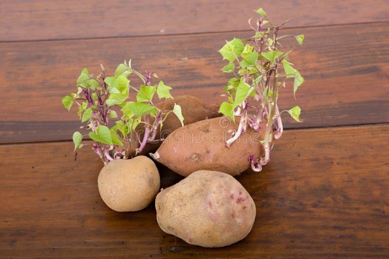 Spira för potatisar royaltyfri bild