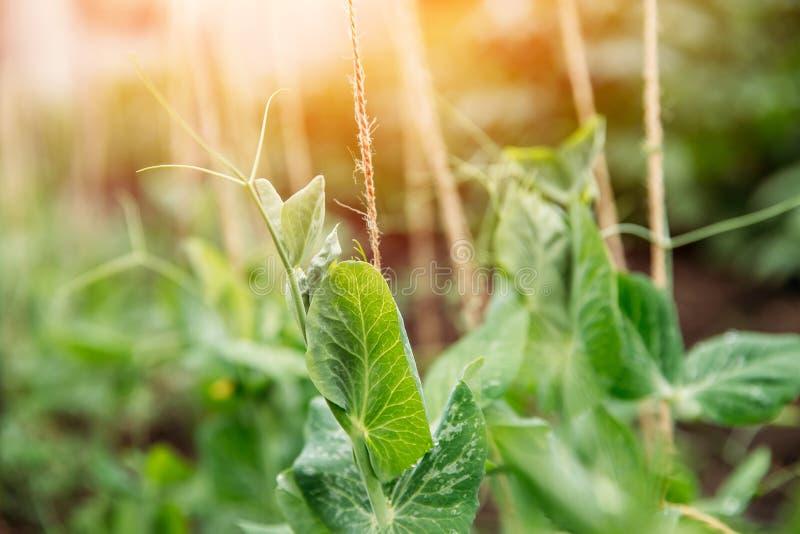Spira gröna ärtor i trädgårdsolljus ?kerbruk comcept arkivbild